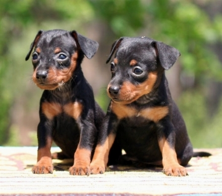 Pinscher tedesco forum