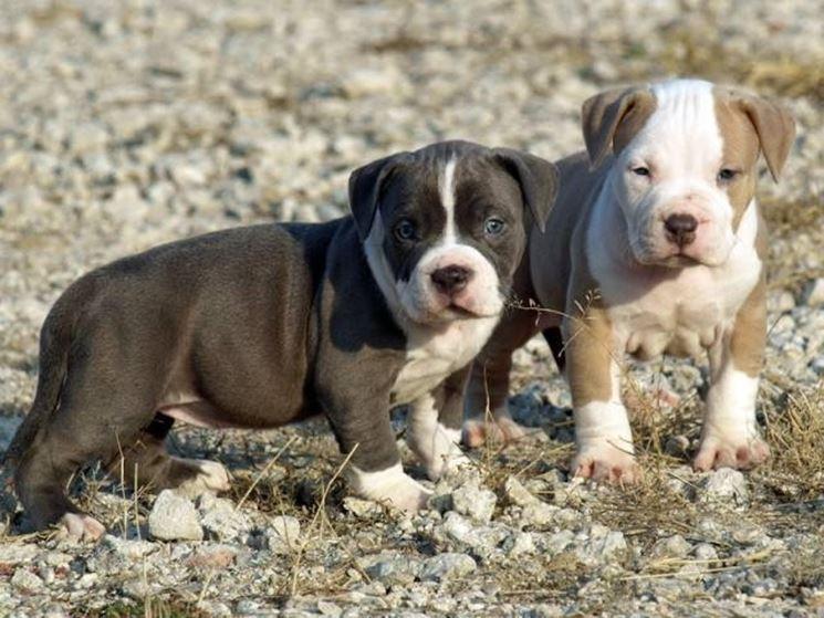 pitbull cuccioli