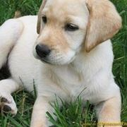 cuccioli di golden retriever in regalo