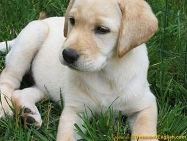 Regalo Cuccioli Labrador