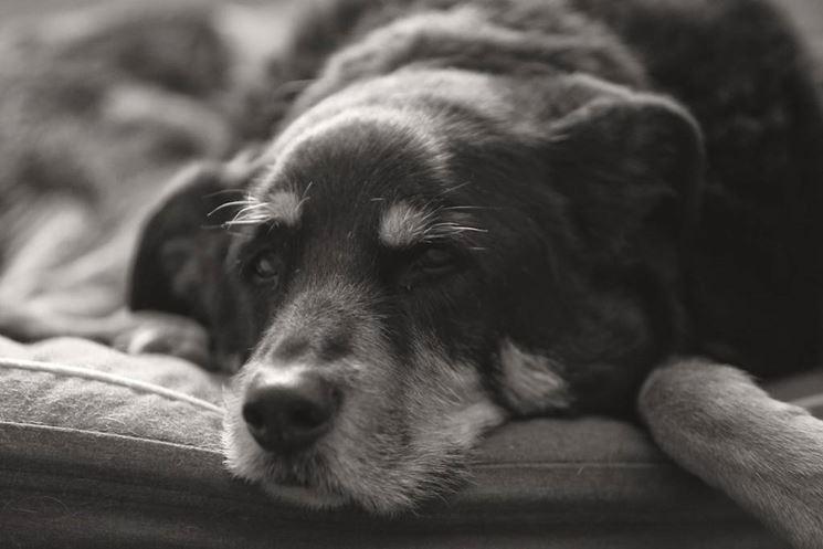 Un cane anziano saprà amarvi quanto e più di un cucciolo