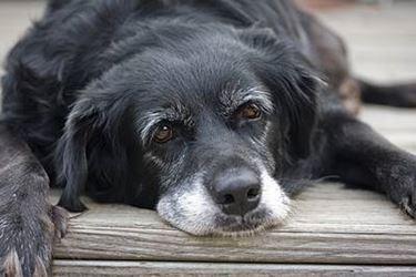 cane vecchio
