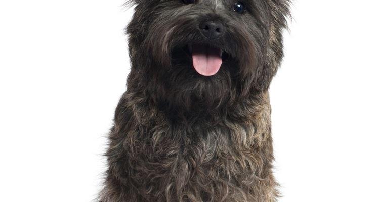 Esemplare di Cairn Terrier
