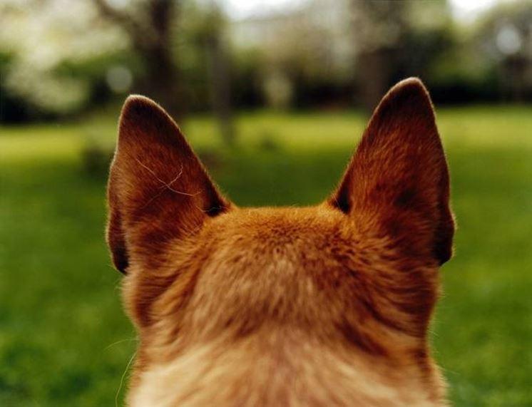orecchio cane