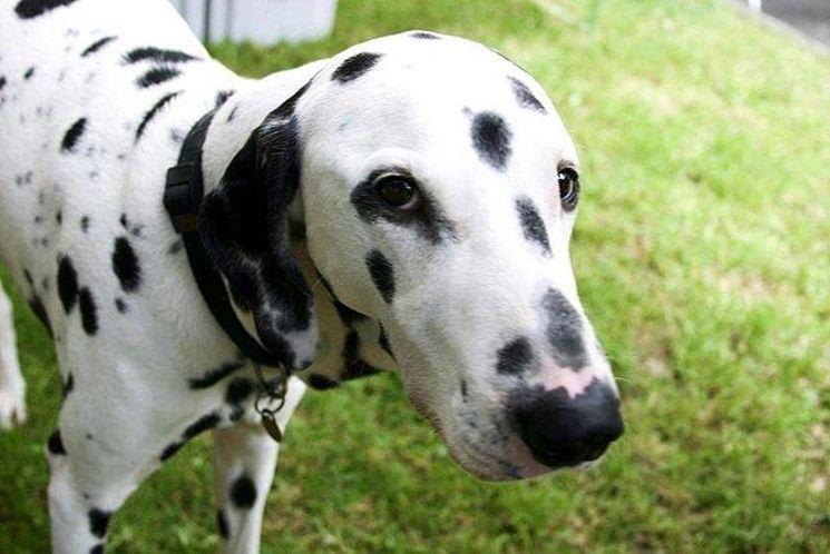 Esemplare di cane dalmata