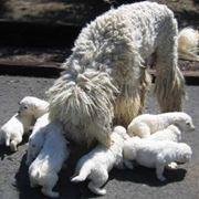 mamma con cuccioli