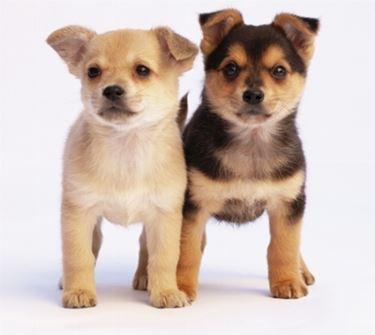 immagini cuccioli di cane