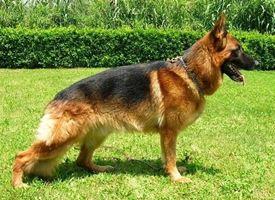 Cani Razze