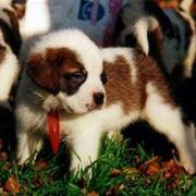 rogna cani