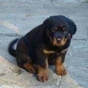 cane in vendita