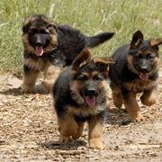 cane pastore tedesco cucciolo