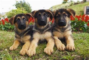 Allevamento cuccioli pastore tedesco