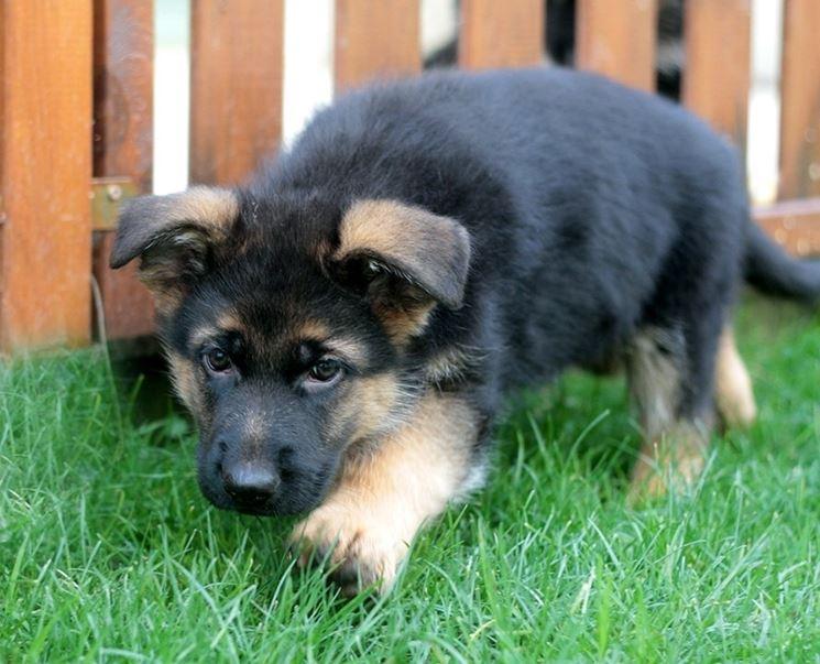 cucciolo pastore tedesco femmina
