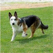 grigione cane