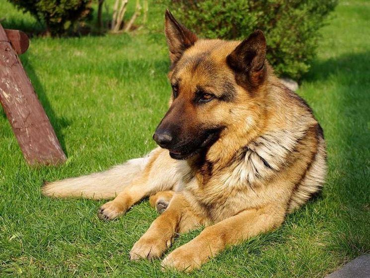 Immagine di cane Pastore Tedesco.