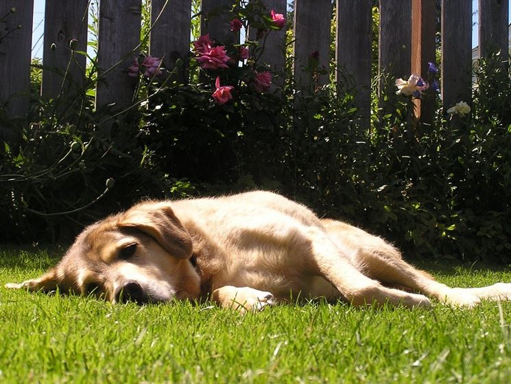 Cane Labrador rilassato nel prato.