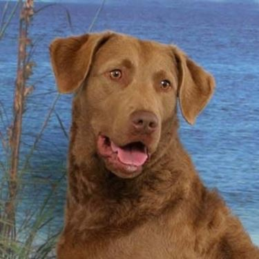 foto del Chesapeake Bay Retriever
