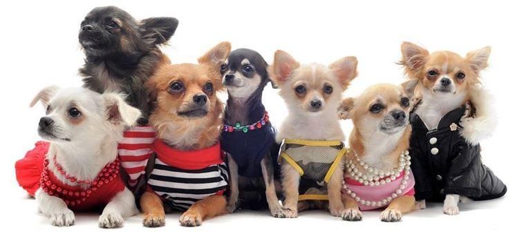 Chihuahua alla moda