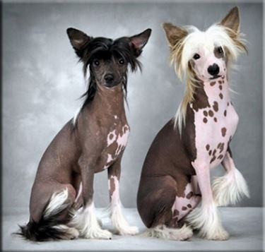 Foto chinese crested dog