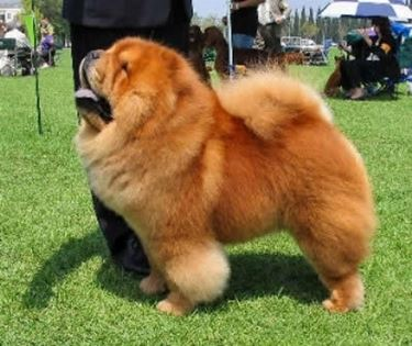 Chow Chow Carattere Cani Taglia Media Carattere Del Chow Chow