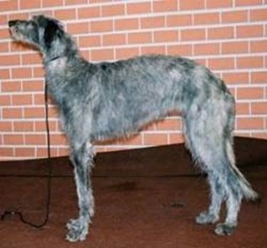 foto Deerhound