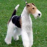 Foto fox terrier