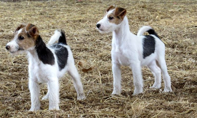 coppia di fox terrier