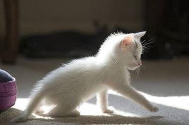 gatti razza