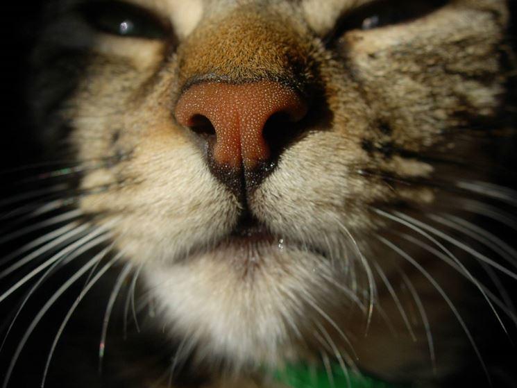 gatto naso