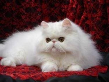 pelo gatto