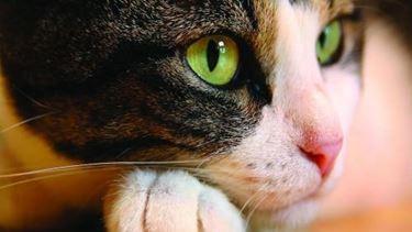 pulci gatti
