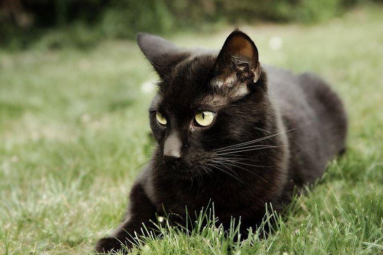 Gatto nero europeo