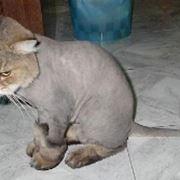 gatto senza pleo