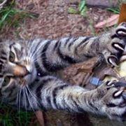 unghie gatto