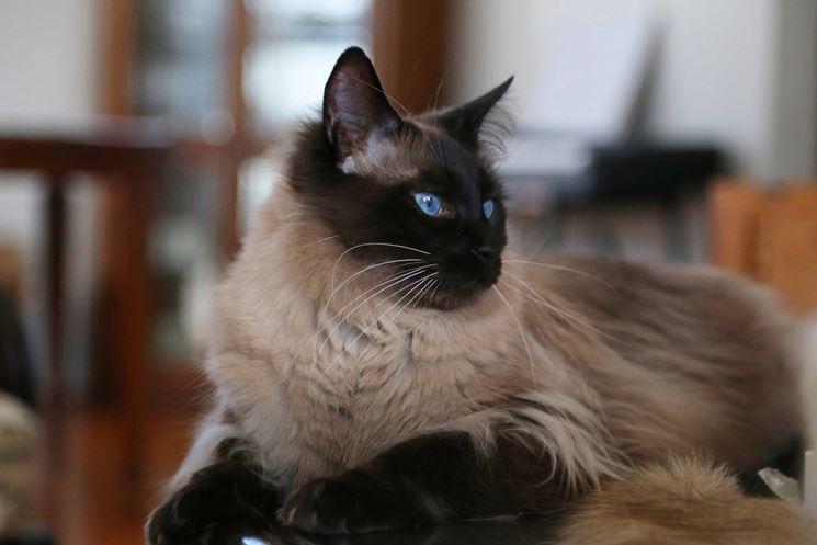 gatto Balinese