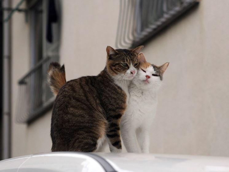 gatti in calore