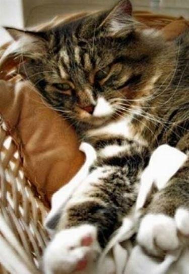 il gattino ha nematodi