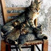gatta in calore