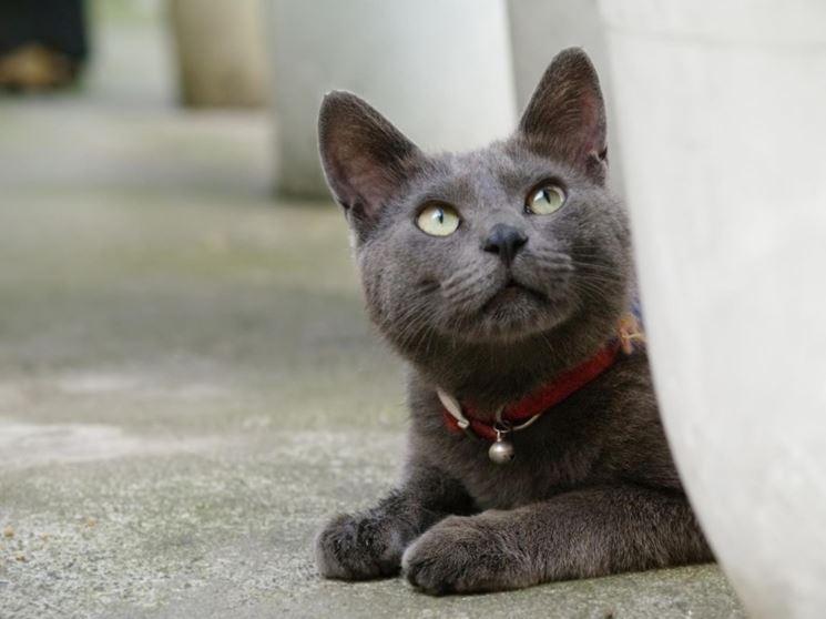 korat gatto
