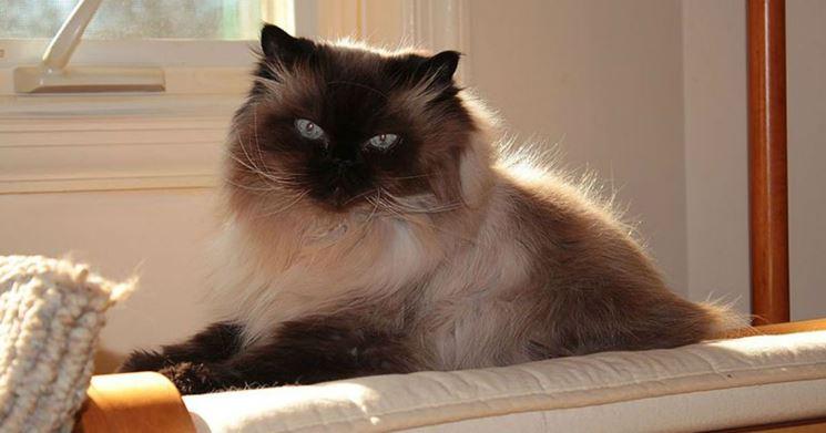 gatto himalayano