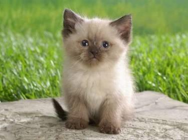 Pelo Gatto Il Gatto Caratteristiche Del Pelo Di Gatto