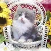 trono gatto