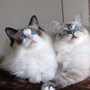 razze gatti pelo lungo