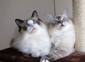 Razze Gatti
