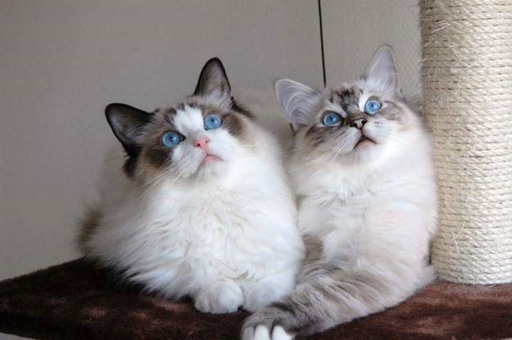 Razze Gatti Il Gatto Le Diverse Razze Di Gatto