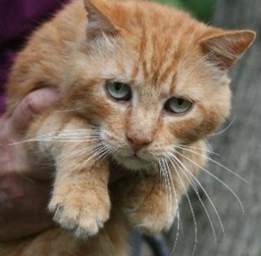 Le pulci del gatto sono insetti fastidiosi che usano il micio come ospite sul quale.