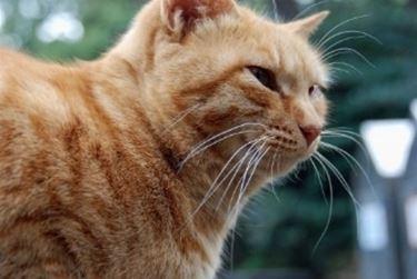 gatto con rogna