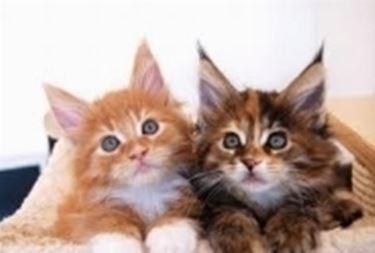 Cuccioli gatto