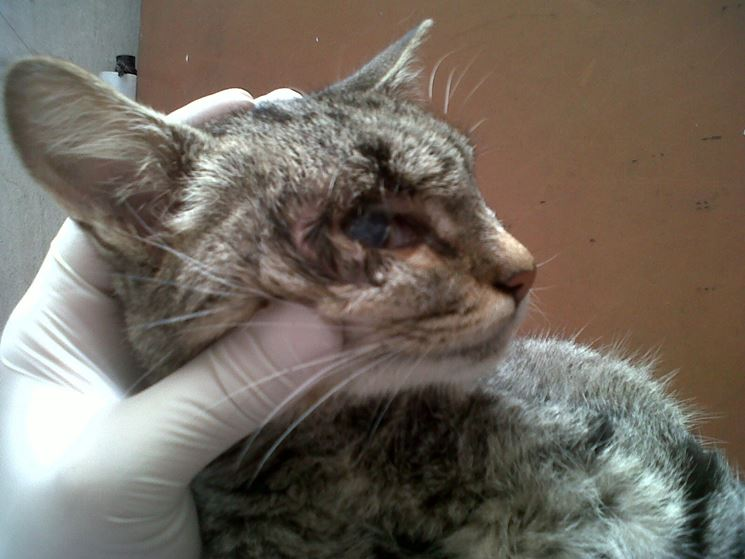 Sintomatologia leucemia felina
