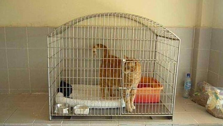 E' importante isolare il soggetto malato per evitare che contagi altri gatti